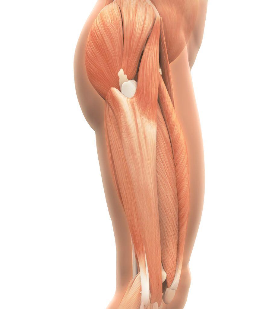 Hip, Hip Muscles, Hip Pain